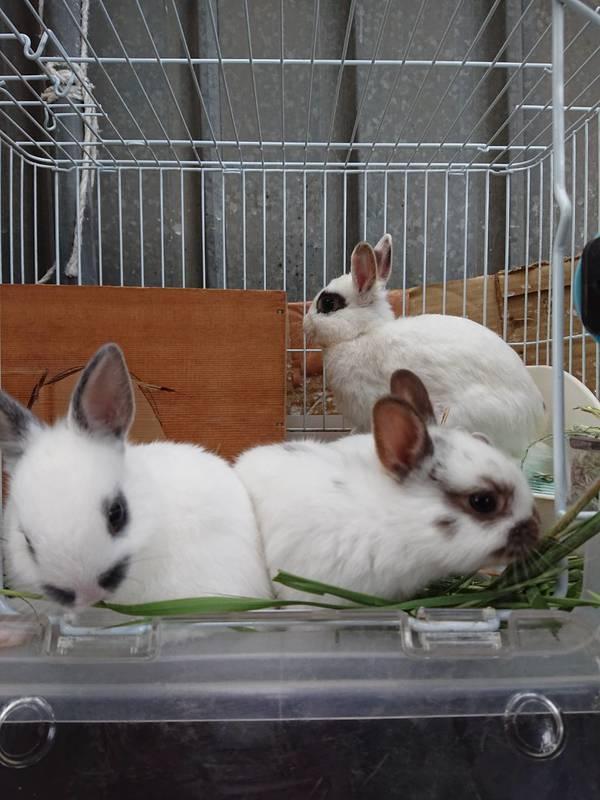 ウサギ、モルモット赤ちゃん譲ります☺️